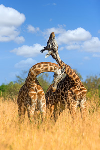 Two giraffes rubbing their heads and necks against each other while standing in a field of tall yellow grass under a blue sky