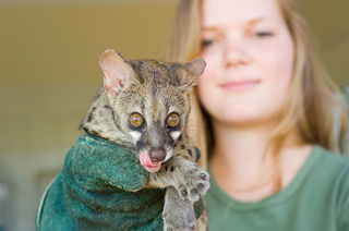 Young woman holding a spotted genet with amber-colored eyes and its pink tongue sticking out in her gloved hand